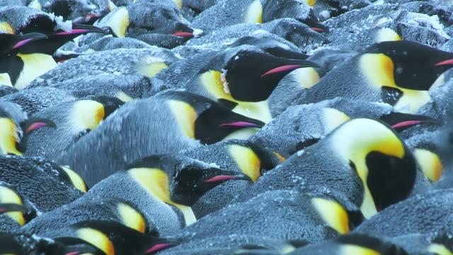 """CU ZO Emperor penguin massed huddle with backs locked together as huddle breaks up and penguins move away / Dumont D Urville Station, Adelie Land, Antarctica """