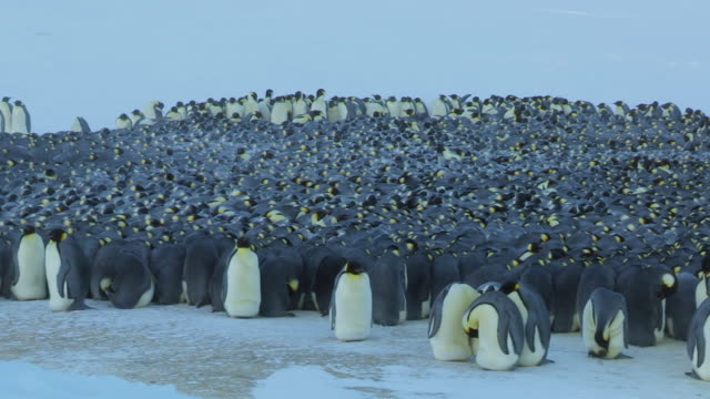 """""""ms pan emperor penguin massed huddle with penguins moving around in light blizzard / dumont d urville station, adelie land, antarctica """" - emperor penguin stock videos & royalty-free footage"""