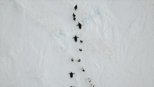 stockvideo's en b-roll-footage met emperor penguin migration - animal