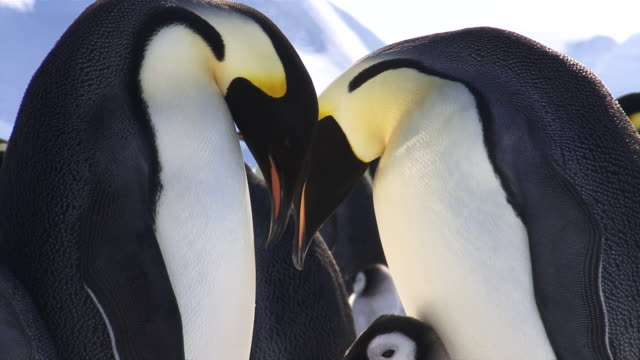 emperor penguin pair with pestering chick hdi - penguin stock videos & royalty-free footage