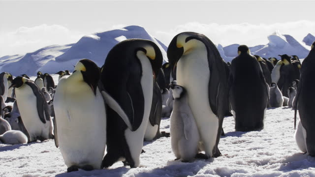 stockvideo's en b-roll-footage met emperor penguin parents with chick - dierenfamilie