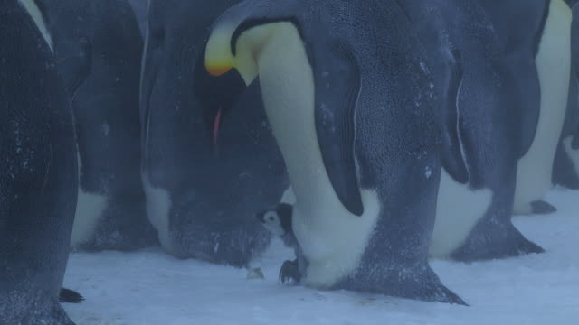 ms emperor penguin profile with chick on feet in blizzard feeding chick / dumont d'urville station, adelie land, antarctica - 雛鳥点の映像素材/bロール