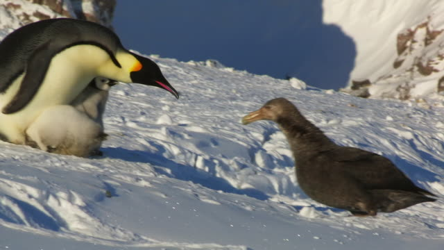 vídeos y material grabado en eventos de stock de ms emperor penguin protects 2 chicks and confronts giant petrel threatening them - cincuenta segundos o más