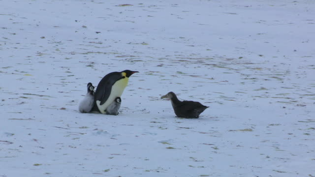 WS Emperor penguin protects 4 chicks from Giant petrel but one breaks away and petrel chases it