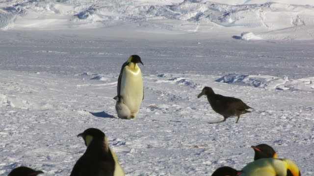WS Emperor penguin protects its chick from the threat of a Giant petrel which moves away