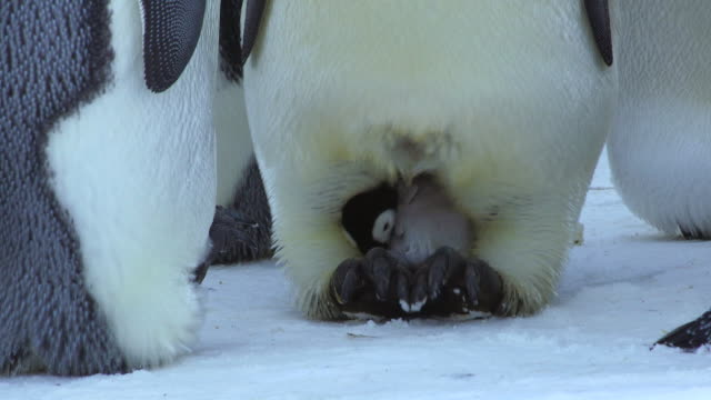 CU Emperor penguin rolling back brood pouch to reveal young chick / Dumont D'Urville Station, Adelie Land, Antarctica