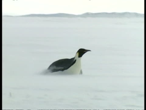wa emperor penguin sliding across ice on belly, propelling itself with wings, antarctica - sliding stock videos & royalty-free footage