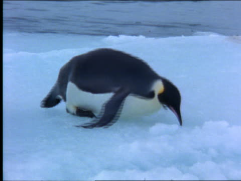 vídeos de stock, filmes e b-roll de emperor penguin sliding across ice on stomach / antarctica - 2001