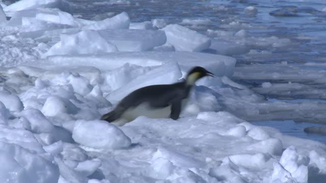 emperor penguin (aptenodytes forsteri) sliding across ice to enter hole in sea ice, cape washington, antarctica - 滑る点の映像素材/bロール