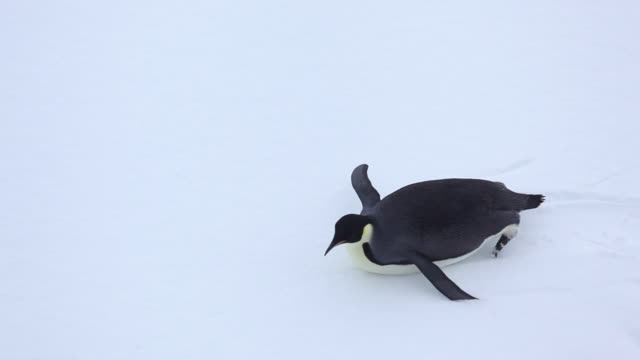 emperor penguin sliding on sea ice - penguin stock videos & royalty-free footage
