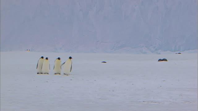 vídeos y material grabado en eventos de stock de emperor penguin slips on the ice - pingüino