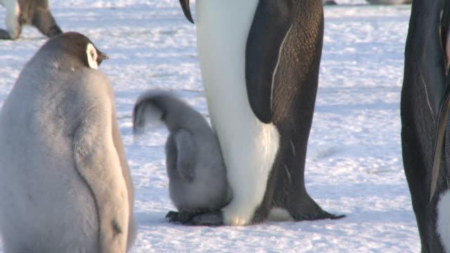 emperor penguin (aptenodytes forsteri), small chick on parent's feet, focus, cape washington, antarctica - cape washington stock videos & royalty-free footage