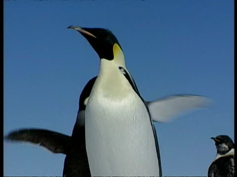 cu emperor penguin standing, flapping wings, set against blue sky, antarctica - animal wing stock videos & royalty-free footage