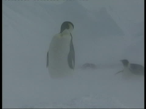 vidéos et rushes de ms emperor penguin standing in blizzard, preening then looking beyond camera, other penguins sliding on belly in background, antarctica - se lisser les plumes