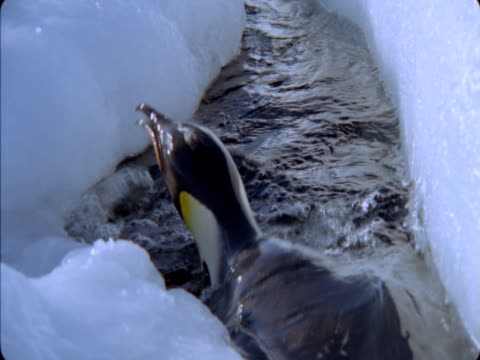 emperor penguin surfaces in icy water then dives back down. - flightless bird stock videos & royalty-free footage