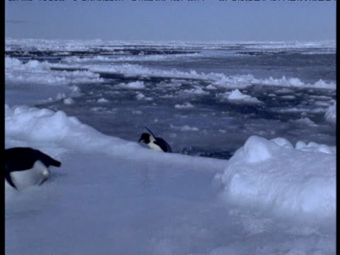 emperor penguin tries to leap from water onto ice but falls back in, terra nova bay, antarctica - careless stock videos & royalty-free footage