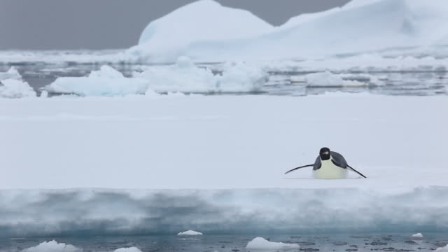 emperor penguin - sliding stock videos & royalty-free footage