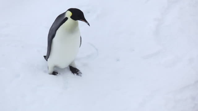 emperor penguin - young animal stock videos & royalty-free footage