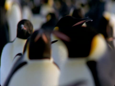 emperor penguin waddles through a large colony. - flightless bird stock videos & royalty-free footage
