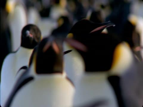 vidéos et rushes de emperor penguin waddles through a large colony. - colony