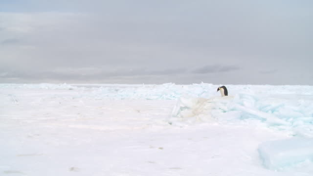 emperor penguin (aptenodytes forsteri) waddling across ice, cape washington, antarctica - waddling stock videos & royalty-free footage