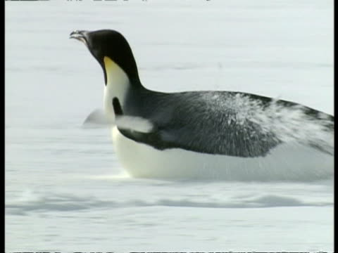 mcu emperor penguin waddling across ice, then falling onto belly and propelling itself along, stands and calls, antarctica - waddling stock videos & royalty-free footage