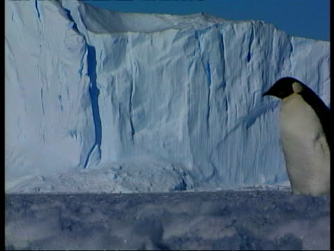 mcu emperor penguin waddling right to left across ice, ice cliff in background, antarctica - waddling stock videos & royalty-free footage