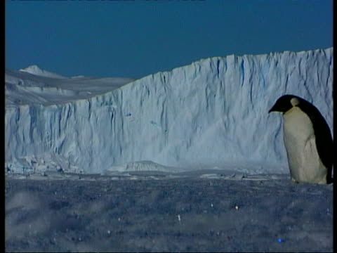 ms emperor penguin waddling right to left across ice, ice cliff in background, antarctica - waddling stock videos & royalty-free footage