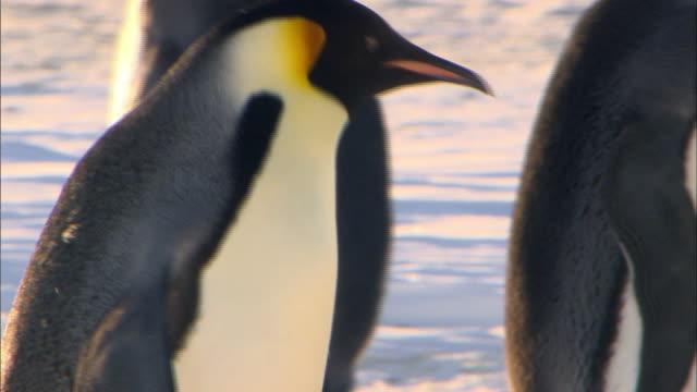 vídeos y material grabado en eventos de stock de emperor penguin walking and flapping its wing - grupo pequeño de animales