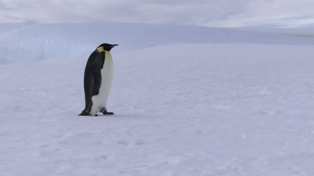 ms zi ts emperor penguin walking on snow / antarctica - penguin stock videos & royalty-free footage