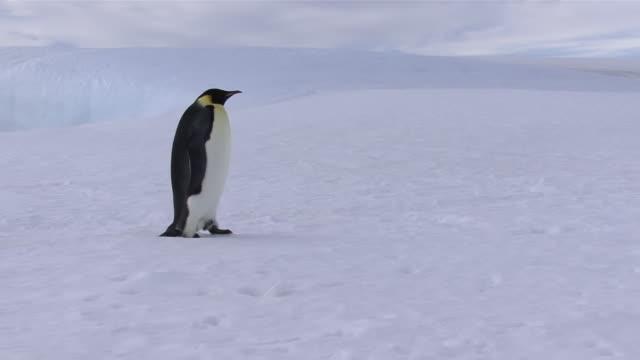 vídeos y material grabado en eventos de stock de ms zi ts emperor penguin walking on snow / antarctica - pingüino
