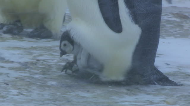 CU TS PAN Emperor penguin walking with chick on its feet in blizzard / Dumont D'Urville Station, Adelie Land, Antarctica
