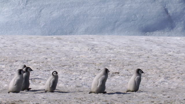 ws pan emperor penguin walking with  chicks during winter / antarctica  - wildtier stock-videos und b-roll-filmmaterial