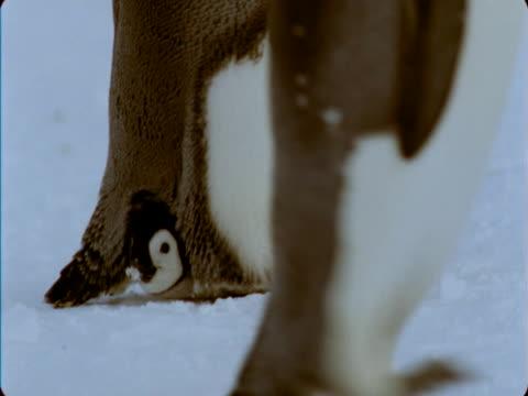 emperor penguin walks with its chick tucked between its feet. - flightless bird stock videos & royalty-free footage