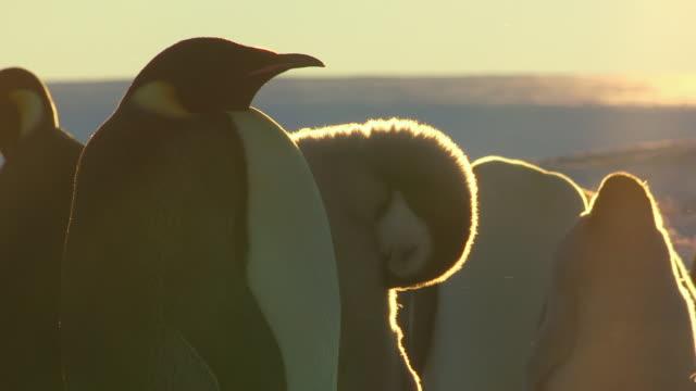 vídeos y material grabado en eventos de stock de ms pan emperor penguin with chick in evening light / dumont d'urville station, adelie land, antarctica - mendicación