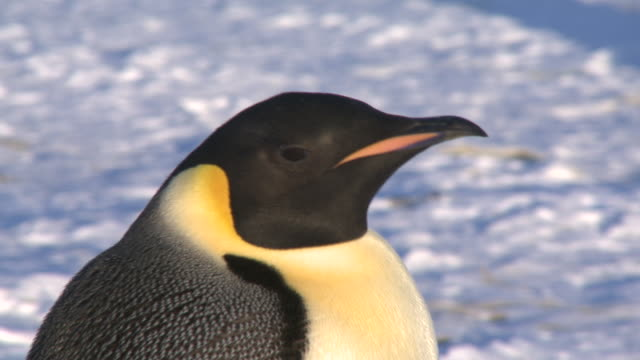 emperor penguins (aptenodytes forsteri), adult in colony, cape washington, antarctica - close up stock videos & royalty-free footage