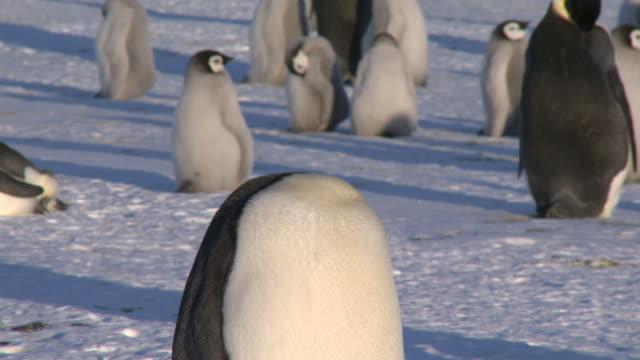 emperor penguins (aptenodytes forsteri), adult in colony preens, cape washington, antarctica - cape washington stock videos & royalty-free footage