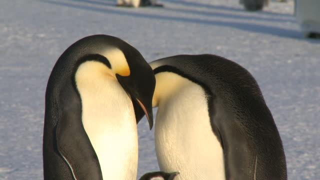 emperor penguins (aptenodytes forsteri), adults display at colony with chick, cape washington, antarctica - cape washington stock videos & royalty-free footage
