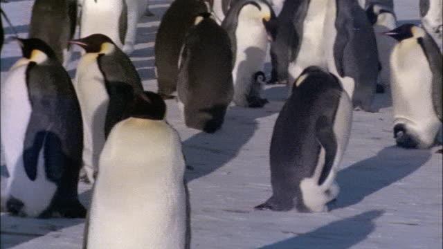 vidéos et rushes de ms, pan, emperor penguins, antarctica - groupe moyen d'animaux