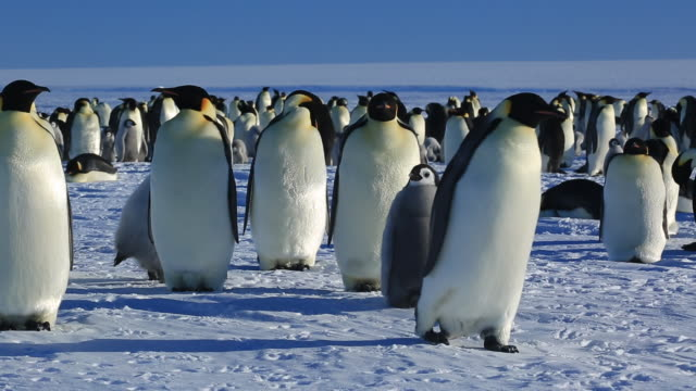 emperor penguins (aptenodytes fosteri) at colony, adult walks away - penguin stock videos and b-roll footage