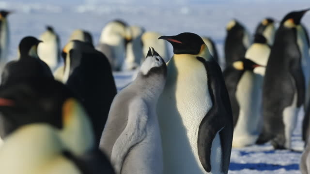 Emperor penguins (Aptenodytes fosteri) at colony, chick begs persistently from adult