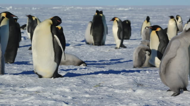 emperor penguins (aptenodytes fosteri) at colony, general movement then pan to adult feeding chick - young bird stock videos & royalty-free footage