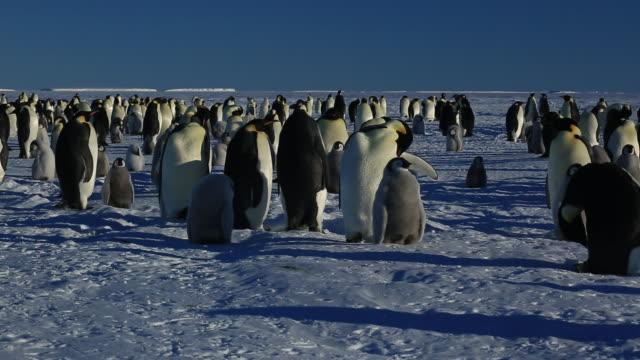 Emperor penguins (Aptenodytes fosteri) at colony