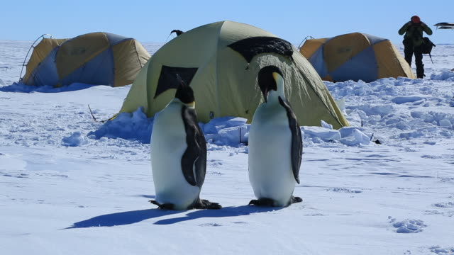 emperor penguins (aptenodytes fosteri) at gould bay camp - antarctica people stock videos & royalty-free footage