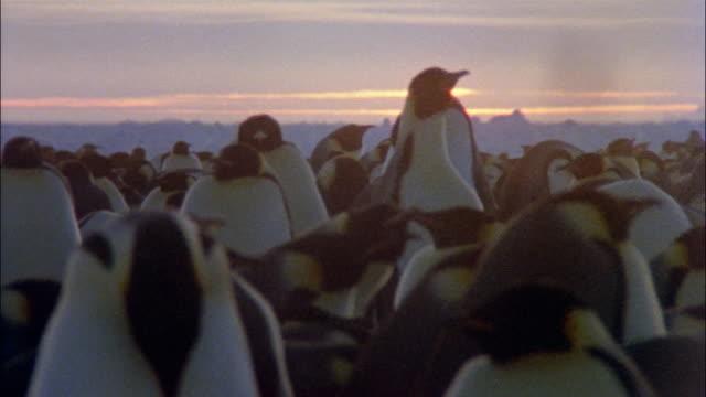 vidéos et rushes de cu, emperor penguins at sunset, antarctica - groupe moyen d'animaux