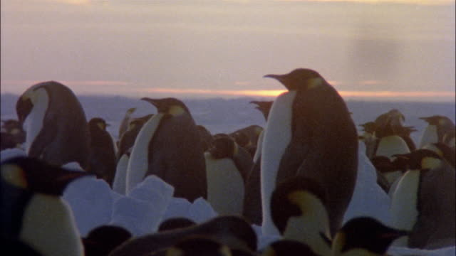 MS, Emperor penguins at sunset, Antarctica