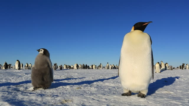 Emperor penguins (Aptenodytes fosteri) away from colony, adult and chick studiously ignore each other
