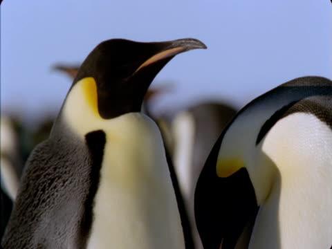 emperor penguins balance their chicks on their feet. - flightless bird stock videos & royalty-free footage