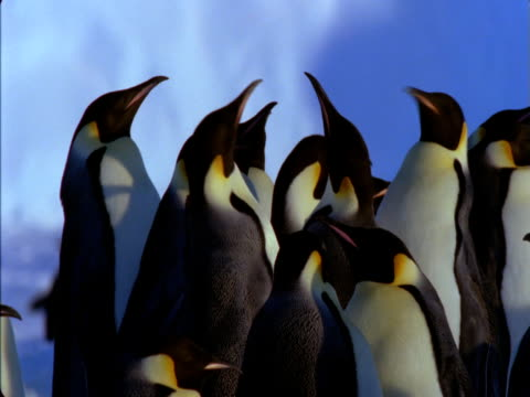 vidéos et rushes de emperor penguins bicker in an antarctic colony. - colony