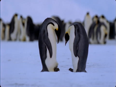 emperor penguins care for their chick in a large colony. - animal family stock videos & royalty-free footage